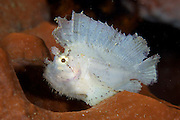 Solitary scorpionfish that varies widely in colour inhabiting coastal lagoon and outer reefs to 134 m