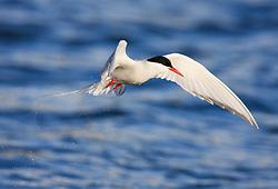 Arctic Tern (Sterna paradisea) Spitsbergen, Svalbard