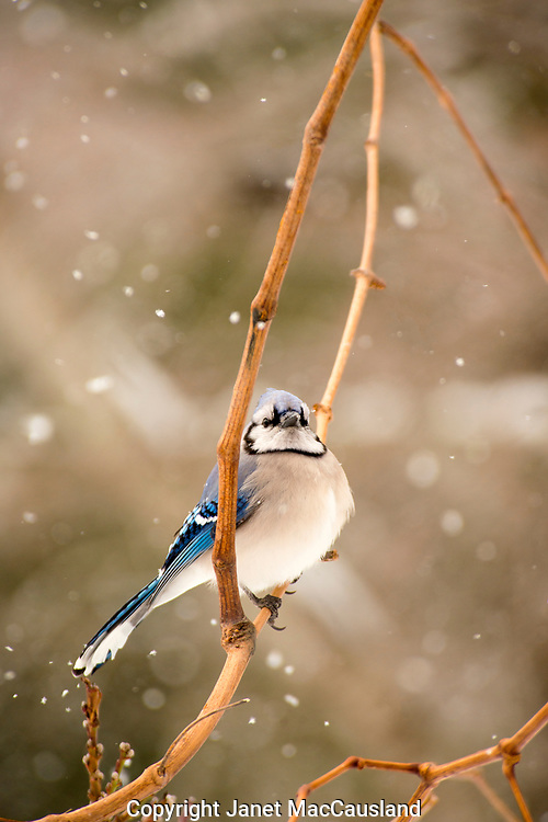 A Blue Jay (Cyanocitta cristata) swings on a vine while the snow falls around him. Blue Jays are colorful and very vocal and loud. They are omnivores and will stash food in a cache for later.
