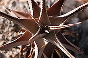 Aloe Vera Plant, Dixsam region, Socotra, Yemen