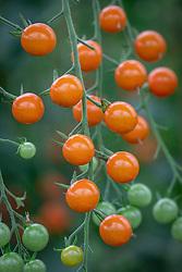 Tomato 'Honeycomb'