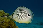 Foureye Butterflyfish (Chaetodon capistratus)<br /> BONAIRE, Netherlands Antilles, Caribbean<br /> HABITAT & DISTRIBUTION: Reef tops. <br /> Florida, Bahamas, Caribbean, Gulf of Mexico & Bermuda