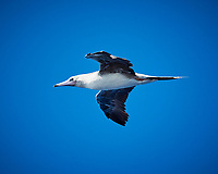 Brown Booby. Viewed from the deck of the MV World Odyssey. Image taken with a Nikon 1 V3 camera and 70-300 mm VR lens (ISO 250, 141 mm, f/5.3 1/1000 sec).