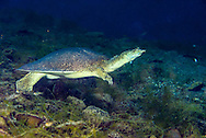 Texas Spiny Softshell Turtle<br />