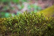 "Small forest of squirrel-tail moss (Leucodon sciuroides) in broadleaved forest on slopes of river Ruņa, nature reserve ""Ruņupes ieleja"" (dabas liegums ""Ruņupes ieleja""), Kurzeme, Latvia Ⓒ Davis Ulands   davisulands.com"