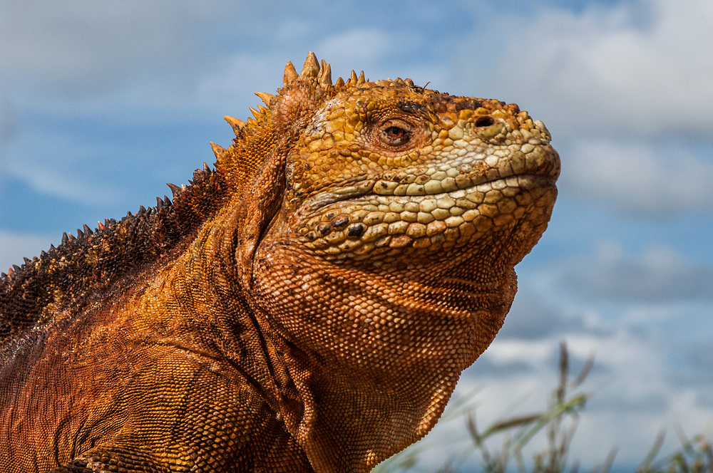 Land Iguana (Conolophus subcristatus)<br /> Baltra Island<br /> GALAPAGOS ISLANDS<br /> ECUADOR.  South America<br /> One of two endemic species of these large, yellow lizards found in the islands.  <br /> Conolophus subcristatus lives on six of the islands. (Fernandina, Isabela, Santa Cruz, South Plaza, Baltra and Seymour) They are vegetarian and eat mostly Opuntia cactus. However it has been reported that they will eat carrion if available. <br /> The Land iguanas from Baltra were introduced onto North Seymour Island in the 1930's and then subsequently became extinct on Baltra during the time the island was being used by the USA as a military base. They have been captive bred in the Charlse Darwin Station and re-introduced to Baltra.  The reintroduction in 2008 was the last one as they have now sucessfully established themselves on the island.