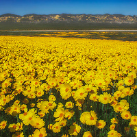 Large field of Bigelow's Coreposis wildflowers at Carrizo Plain National Monument, California.