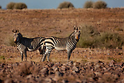 Fish River Canyon National Park, Namibia. Mountain zebra herd