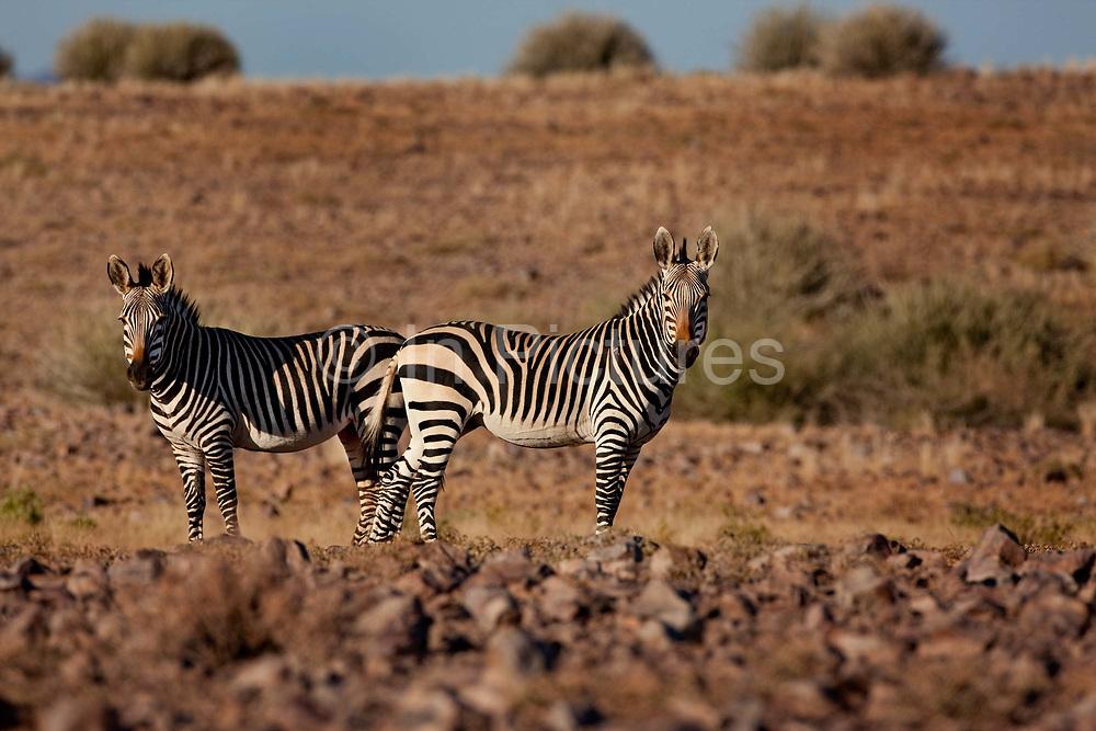 Fish River Canyon National Park, Namibia. Mountain zebra herd