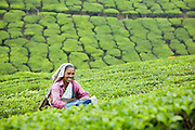 Tea pickers in the hill station of Munnar in Kerala, India