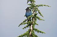 Steller's Jay (Cyanocitta stelleri) in a Mountain Hemlock (Tsuga mertensiana) Mount Rainier National Park, Washington, USA