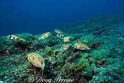 aggregation of balloonfish or fine-spotted porcupinefish, Diodon holocanthus, juveniles, Submerged Rock, N. Stradbroke Island, near Brisbane, Australia ( Western Pacific Ocean )