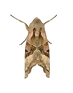 Angle Shades - Phlogophora meticulosa - 73.113 (2306)