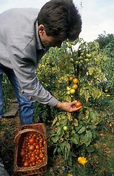Organic gardening; tomato harvest UK