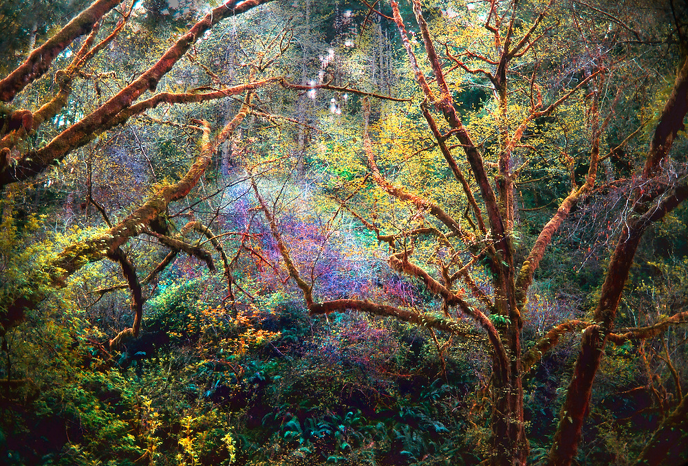Forest, off the Mendocino Coast, Northern California