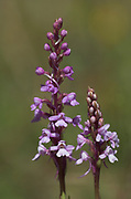 Fragrant Orchid, Gymnadenia conopsea, Monkton Chalkpit Nature Reserve, Kent, pink, delicate