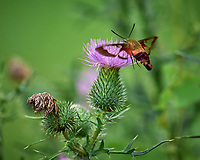 Clearwing Hummingbird Moths (Hemaris thysbe). Image taken with a Leica SL2 camera and 90-280 mm lens