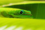 close up photography,wildlife.Madagascar day gecko.