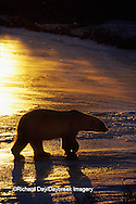 01874-01513 Polar Bear (Ursus maritimus)  walking on frozen pond at sunset Churchill  MB