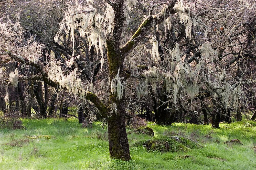 Oak tree with Spanish moss in Skyline Park, Wilderness Park, Napa Valley, California, USA.