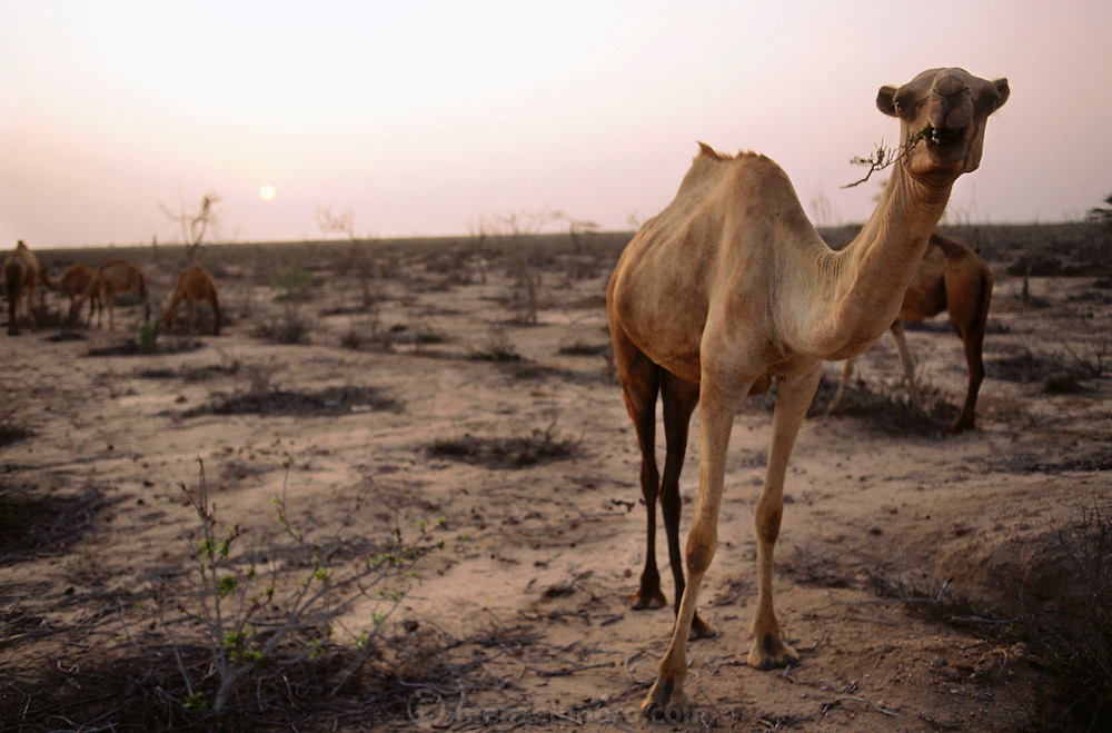 Landscape decimated by camels, in Berbera, Somaliland. March 1992.