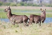 Female waterbucks standing by Savuti channel