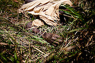 """A Jie man allegedly stabbed by a group of Murle after a night of drinking in Jonglei state, Southern Sudan. Tradition calls for a man killed """"on the way"""" to be left in the bush and not buried. If the guilty are not found tradition then calls for an innoncent person """"on the way"""" to be killed in revenge. Such revenge killings often unleash small long lasting wars over single incidents across South Sudan."""