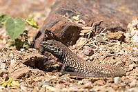 Sonoran Tiger Whiptail, Aspidoscelis tigris punctilinealis, stands at the entrance to its burrow in the Desert Botanical Garden, Phoenix, Arizona