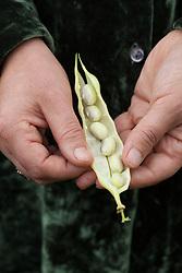 Slovenian bean in hand