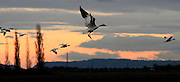 Snow geese gather by the thousands in the farmlands of Skagit Valley and North Puget Sound from their breeding grounds on Siberia's Wrangel Island and mainland Siberia.  (Alan Berner / The Seattle Times)