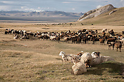 A flock of sheep after release from their overnight enclosure grazing on the jailoo (high altitude summer pasture) in the Tien Shan mountains of Kyrgyzstan bordering China.