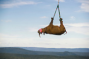 Black Rhinoceros (Diceros bicornis) slung from helicopter<br /> Great Fish River Nature Reserve, Eastern Cape Province<br /> SOUTH AFRICA<br /> A viable breeding population of 15 animals being relocated to an undisclosed destination.<br /> ENDANGERED SPECIES. CITES 1