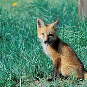 Red Fox, (Vulpus fulva) young kit sitting near den in culvert. Summer.