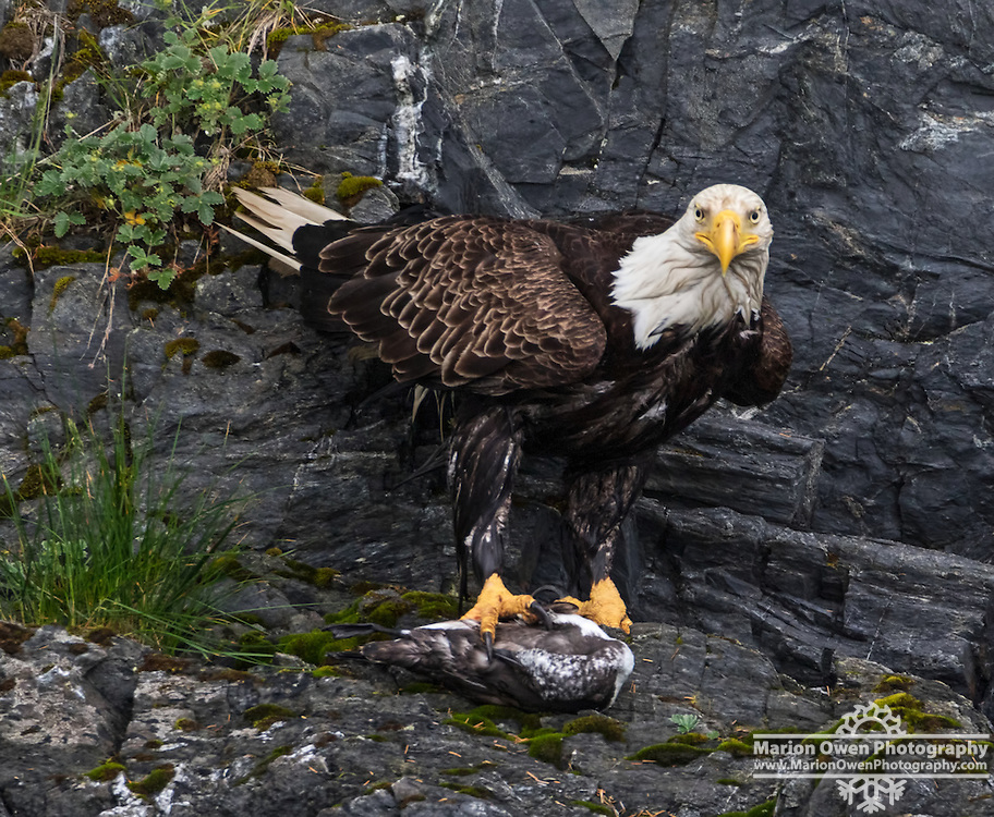 Bald eagle holds a common murre in its talons after dragging it to shore