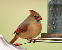Female Northern Cardinal. Image taken with a Nikon D5 camera and 600 mm f/4 VR telephoto lens.