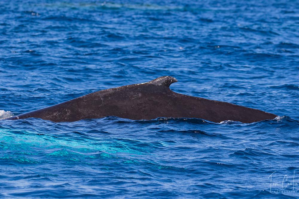 humpback whale ~ Megaptera novaeangliae ~ adult dorsal fin ~ Silver Bank, Dominican Republic ~ www.aquaticadventures.com