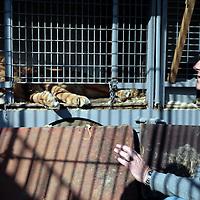 Frankrijk Lieusaint,21 mei 2015.<br /> Stichting AAP die zich inzet voor opvang en welzijn van verwaarloosde dieren waaronder diverse apensoorten haalt nu verwaarloosde 2 tijgers en 2 leeuwen op bij een failliete circus in het plaatsje Lieusaint in de buurt van Parijs om ze vervolgens een betere toekomst te geven in opvangcentrum Primadomus in de buurt van Alicante Spanje<br /> <br /> Op de foto: David van Gennep bij 1 van de 2 leeuwen van voormalig circusbaas Bouillon.<br /> <br /> Foto: Jean-Pierre Jans
