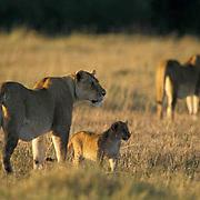 African Lion, (Panthera leo) Portrait of lioness's and cub. Serengeti Plains.Masai Mara Game Reserve. Kenya. Africa.
