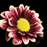 A daisy photographed on black plexi with water drops.