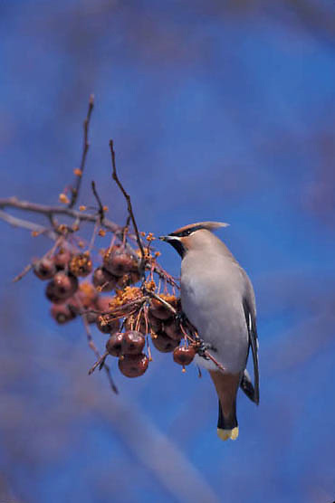 Bohemian Waxwing (Bombycilla garrulus) Feeding on chinese crab apples. Midwest. Winter.