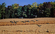 Canada Geese coming into cornfield in fall - Maryland