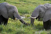 African elephants feeding in the marsh of Amboseli NP, Kenya.