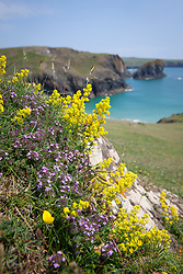 Lady's Bedstraw growing with Common Thyme on The Lizard peninsula, Cornwall. Galium verum, Thymus polytrichus