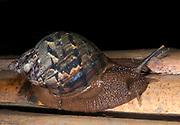 Unidentified terrestrial gastropod (snail) from the rainforest of La Selva, Ecuador.