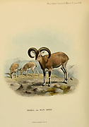 The bharal (Pseudois nayaur), [Here as Ovis nahura] also called the blue sheep, is a caprine native to the high Himalayas. It is the only member of the genus Pseudois. It occurs in India, Bhutan, China (in Gansu, Ningxia, Sichuan, Tibet, and Inner Mongolia), Myanmar, Nepal, and Pakistan. colour illustration From the book ' Wild oxen, sheep & goats of all lands, living and extinct ' by Richard Lydekker (1849-1915) Published in 1898 by Rowland Ward, London