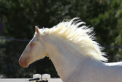 Cremello Lusitano - Dante Dourado<br /> Sommer Ranch, CA<br /> © Hippo Foto - Bob Langrish