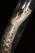 Tubing venomous snake for safe handling<br /> Eastern Diamondback Rattlesnake (Crotalus adamanteus)<br /> CAPTIVE<br /> The Orianne Indigo Snake Preserve<br /> Telfair County. Georgia<br /> USA<br /> RANGE: Southern United States