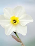 Narcissus 'Lieke' - jonquilla daffodil