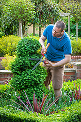 Trimming spiral box topiary with hand shears - Buxus sempervivens