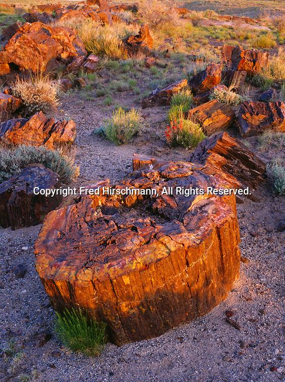 Petrified logs at sunrise, Rainbow Forest, Petrified Forest National Park, Arizona.